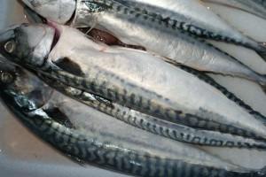 Rauwe makreel: mooie beesten!